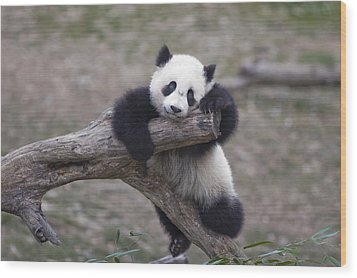 A Baby Panda Plays On A Branch Wood Print by Taylor S. Kennedy