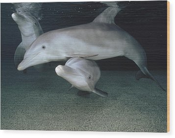Bottlenose Dolphin Underwater Trio Wood Print by Flip Nicklin