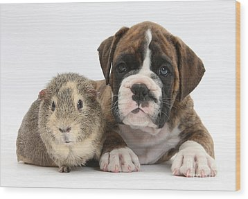 Boxer Puppy And Guinea Pig Wood Print by Mark Taylor