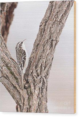 Brown Creeper Wood Print