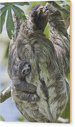 Brown-throated Three-toed Sloth Wood Print by Suzi Eszterhas