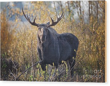 Bull Moose Wood Print by Ronald Lutz
