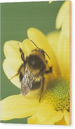 Bumble Bee Pollinating A Flower Wood Print by David Aubrey