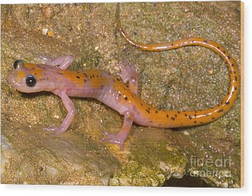 Cave Salamander Wood Print by Dante Fenolio