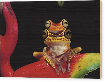 Chachi Tree Frog Hyla Picturata Pair Wood Print by Pete Oxford