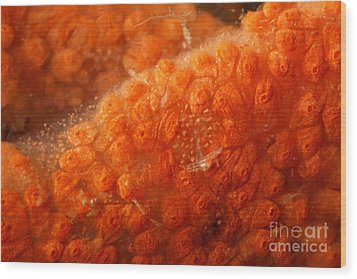 Close-up Of Live Sponge Wood Print by Ted Kinsman