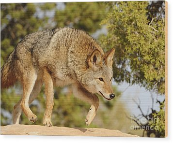 Coyote Hunting Wood Print by Dennis Hammer