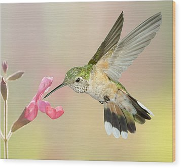 Female Broadtail Hummingbird Wood Print by Gregory Scott