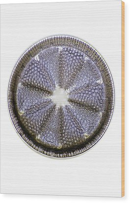 Fossil Diatom, Light Micrograph Wood Print by Frank Fox