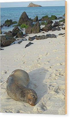 Galapagos Sea Lion Sleeping On Beach Wood Print by Sami Sarkis