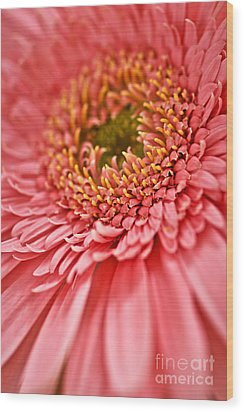 Gerbera Flower Wood Print by Elena Elisseeva