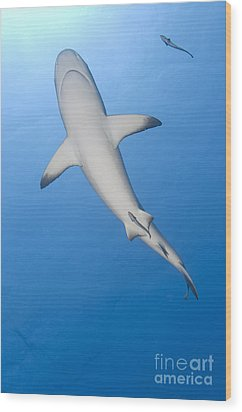 Gray Reef Shark With Remora, Papua New Wood Print by Steve Jones