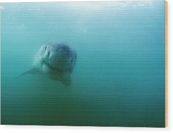 Great White Shark Wood Print by Alexis Rosenfeld