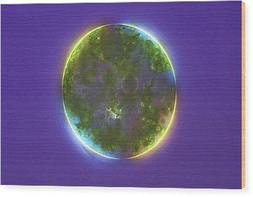 Green Alga, Light Micrograph Wood Print by Frank Fox