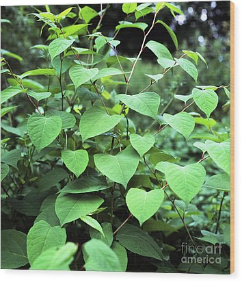 Japanese Knotweed Wood Print by Sheila Terry