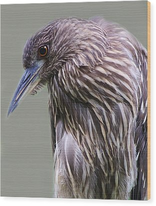 Juvenile Black Crowned Night Heron Wood Print by Paulette Thomas