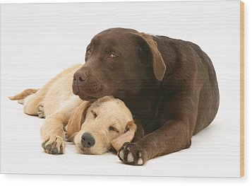Labradoodle And Labrador Retriever Wood Print by Jane Burton