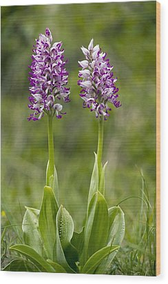 Monkey Orchid (orchis Simia) Wood Print by Bob Gibbons