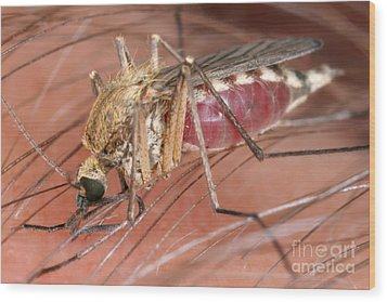 Mosquito Biting A Human Wood Print by Ted Kinsman