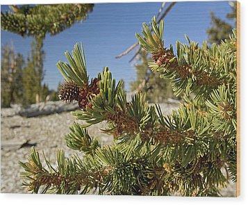 Pinus Longaeva Wood Print by Bob Gibbons
