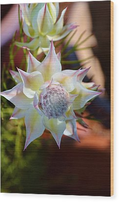 Serruria Rosea Wood Print