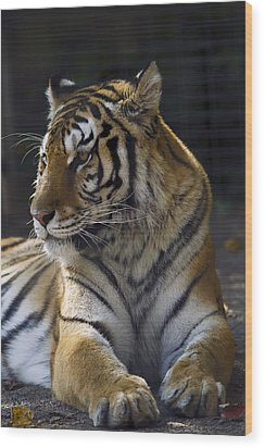 Siberian Tiger Wood Print by JT Lewis
