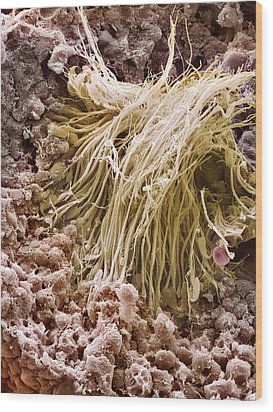 Sperm Production Site, Sem Wood Print by Steve Gschmeissner