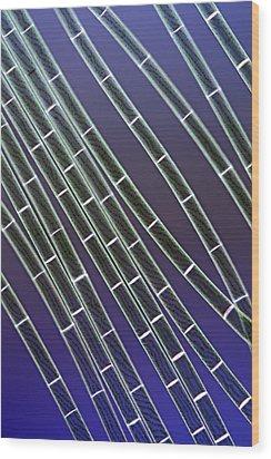 Spirogyra Algae, Light Micrograph Wood Print by Jerzy Gubernator