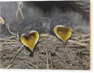 Swallow Chicks Wood Print by Georgette Douwma