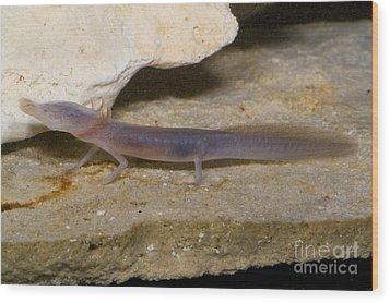 Texas Blind Salamander Wood Print by Dante Fenolio