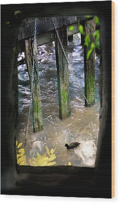 Wood Print featuring the photograph Thames Coot by Richard Piper
