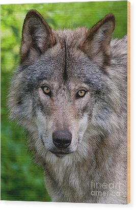 Timber Wolf Portrait Wood Print by Michael Cummings