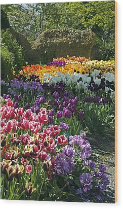 Tulip (tulipa Sp.) Borders Wood Print by Dr Keith Wheeler