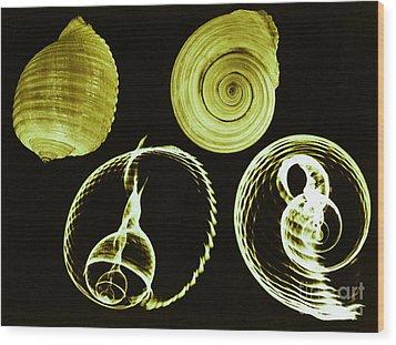 Tun Shell X-ray Wood Print by Photo Researchers