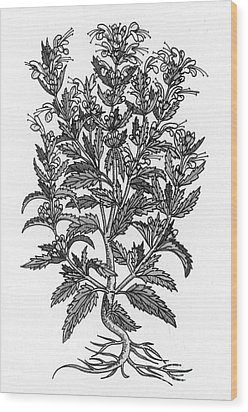 Turkey Balm Wood Print by Science Source