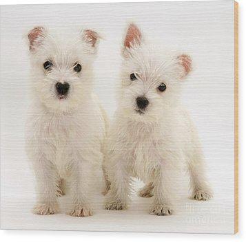 West Highland White Terriers Wood Print by Jane Burton