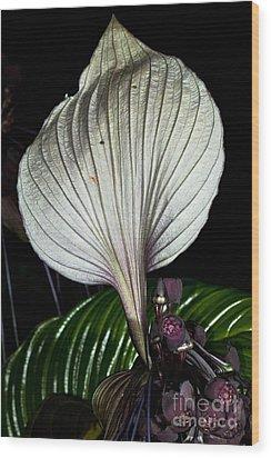 White Bat Plant Wood Print by Johan Larson