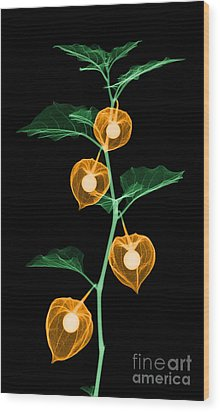 X-ray Of Chinese Lantern Plant Wood Print by Ted Kinsman