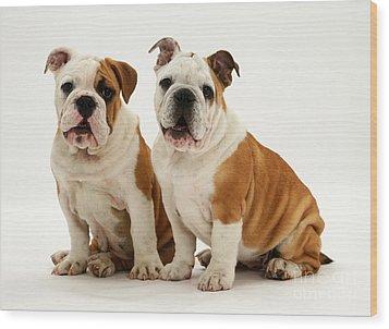 Bulldog Pups Wood Print by Jane Burton