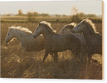 Camargue Horse Equus Caballus Group Wood Print by Konrad Wothe