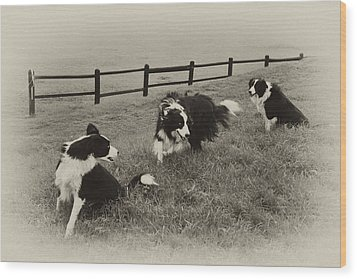 3 Collies Wood Print by Miguel Capelo
