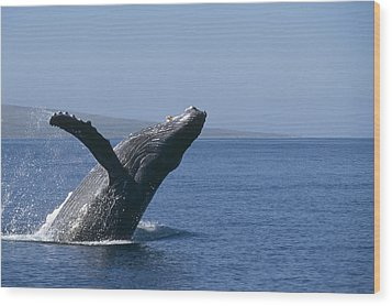 Humpback Whale Breaching Maui Hawaii Wood Print by Flip Nicklin