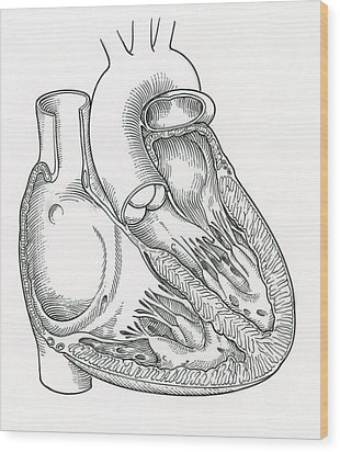 Illustration Of Heart Anatomy Wood Print by Science Source