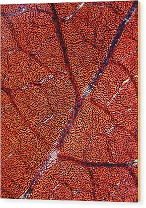 Leaf Anatomy, Light Micrograph Wood Print by Dr Keith Wheeler