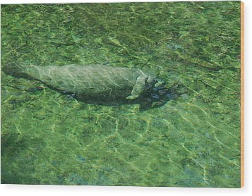 Manatee Wood Print by Randy J Heath