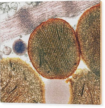 Mitochondria Wood Print by Steve Gschmeissner