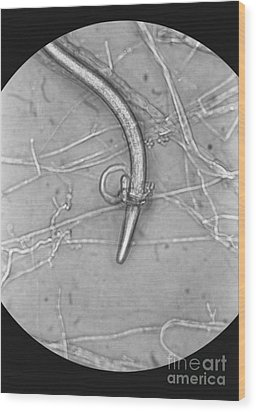 Nematode Snared By Predatory Fungus Lm Wood Print by Photo Researchers, Inc.