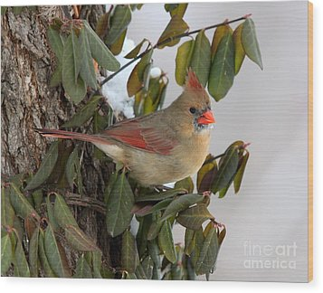 Wood Print featuring the photograph Northern Cardinal by Jack R Brock