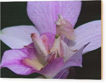 Orchid Mantis Hymenopus Coronatus Wood Print by Thomas Marent