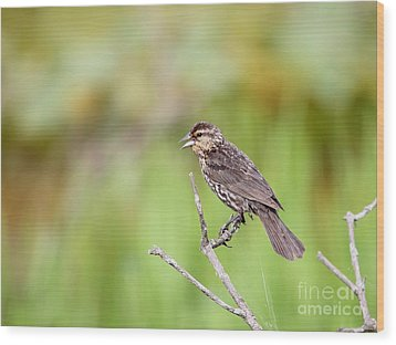 Wood Print featuring the photograph Red-winged Blackbird by Jack R Brock